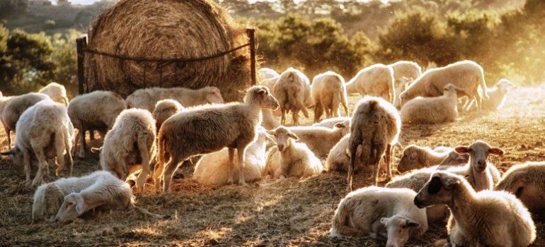 Program minimis cresterea ovinelor